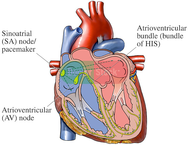 Cardiac conduction system of the heart doctor stock this medical exhibit diagram depicts an anterior front cut away view of the ccuart Images