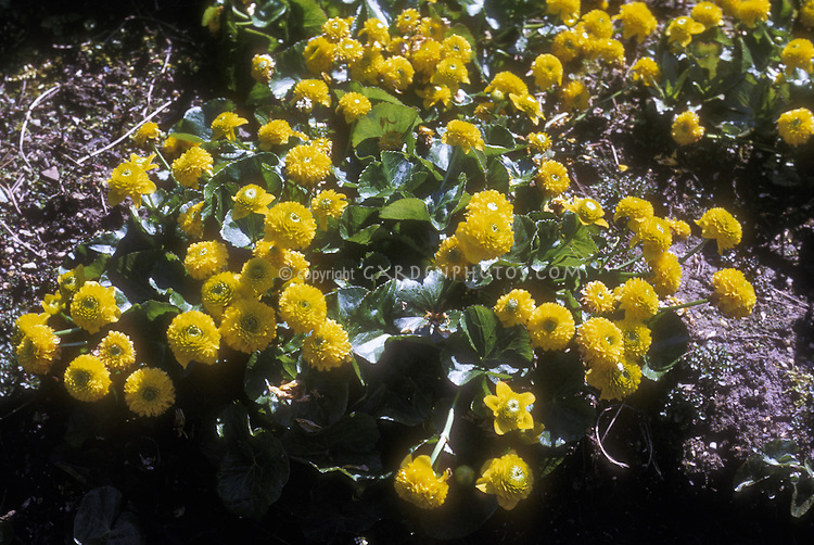 Caltha palustris 'Flore-Pleno' (Double Marsh Marigold) GR512 in spring bloom yellow flowers