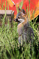 A fox kit in the morning light outside Willits in Mendocino County in Northern California.