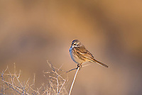 578830016 a wild sage sparrow amphispiza belli nevadensis perches on a sagebrush branch in kern county california