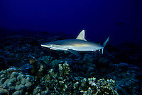 Gray reef sharks, Carcharhinus amblyrhynchos, are a common sight on Hawaii's deeper, current swept reef areas.  Hawaii.