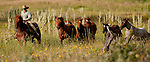 Cowboy Photography Workshop   Erickson Cattle Co. ..Wyatt Hansen leads horses from back pasture... Photo by Al Golub/Golub Photography