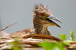 Black-crowned Night Heron Juvenile LA Arboretum Southern California