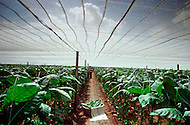 Cuba, March 1992: Harvesting under the Tapados in Pinar Del Rio. The muslin cover filters the sunlight and traps the heat so the leaves grow larger and are also protected from the  bugs. Only the largest and finest leaves are selected to make cigar wrappers.