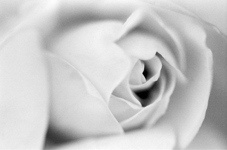 Rose, Ilford Delta Film