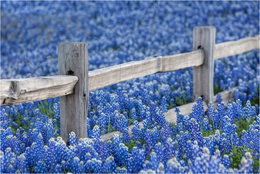 Near Llano, Texas, along Hwy 29, I return each year to this location hoping the bluebonnets will put on a good show. I love the intimate photographs as these wildflowers surround the old wooden fencepost.