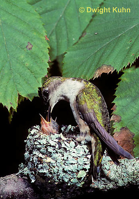 HU10-023x  Ruby-throated Hummingbird - female feeding nectar to  baby birds in nest  -  Archilochus colubris