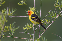 Male Western Tanager (Piranga ludoviciana) in willow bush.  Idaho/Wyoming border area.  June.