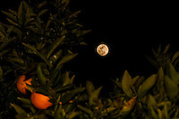 Sixteen hours away from officially being full, the Snow Moon rises behind an orange tree.  Two images blended to provide focus on the foreground and the subject.