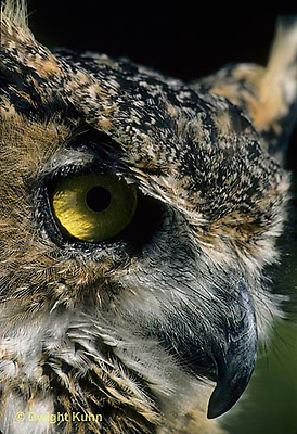 OW06-053z   Great Horned Owl - close-up of head showing curved beak - Bubo virginianus.