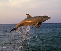 Common Bottlenose Dolphin or Bottle-nosed dolphin (Tursiops truncatus) jumping in late evening light.