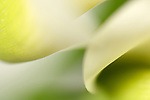 close-up of a calla lily flower
