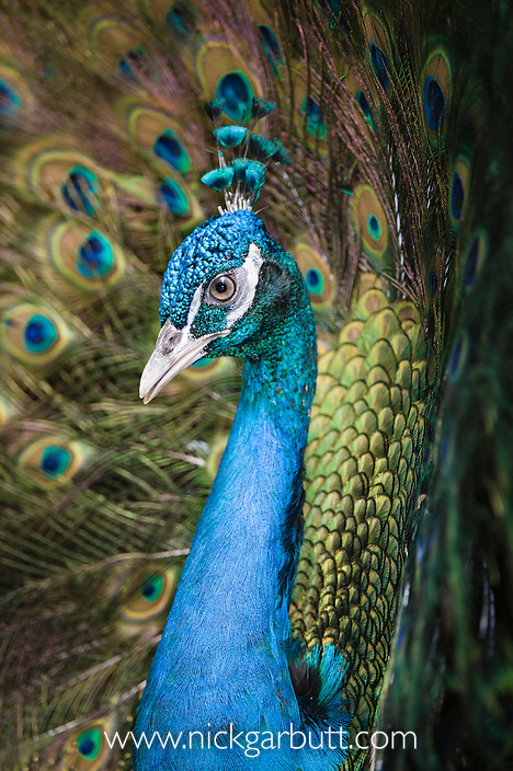 Male Indian Peafowl (Peacock) (Pavo cristatus) displaying to female. From open forest areas on the Indian Subcontinent.