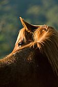 Fazenda Bauplatz, Parana State, Brazil. Brown horse.