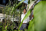 October 12, 2007, Raleigh, NC.. Professor Vincent Chiang, director of the project, as seen throughthe leaves of a experimental black cottonwood..Greenhouses at the Department of Forest Biotechnology at North Carolina State University are being used to grow trees with lower lignin levels to be better used for future bio-fuel technologies.