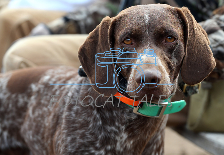Mike Vanderhoef and his dog Strut wait for their competition round during the U.S. Bird Dogs Western State Nationals in Mound House, Nev., on Friday, April 24, 2015. <br /> Photo by Cathleen Allison