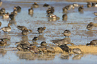 Ducks (northern pintails, gadwalls, American wigeon, teal) feeding and resting in shallow ponds.  Western U.S., October.