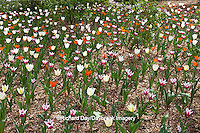 63821-21503 White, Orange, and Burgundy Tulips in spring at Lilacia Park, Lombard, IL