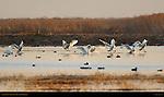 Tundra Swans, Sunset Landing, Whistling Swan, Lodi, California