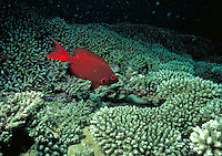 A lone, bright red soldierfish, photographed at night above a coral reef, tropical fish, underwater, marine life, corals. Dark red Soldierfish. Seychelles Islands, Seychelles Western Indian Ocean.