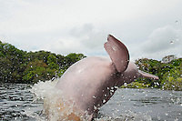RB50719-D. Amazon River Dolphin (Inia geoffrensis) breaching, also called Boto or Pink River Dolphin. Sequence, Frame 2 of 4. Rio Negro, Brazil, South America.<br /> Photo Copyright &copy; Brandon Cole. All rights reserved worldwide.  www.brandoncole.com