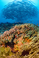 mixed school of bigeye trevally or bigeye jack, Caranx sexfasciatus, and blackfin barracudas, Sphyraena qenie, over a coral reef, Madang, Papua New Guinea, Pacific Ocean