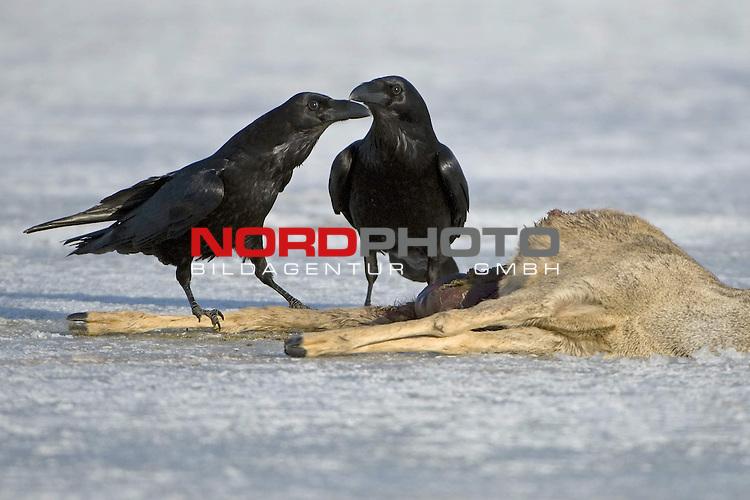Kolkraben (Corvus corax) an einem Luder, totes Reh, Eis, Nahrungserwerb,  Winter, MŁritz Nationalpark, Rabenvogel<br /> <br /> Foto: nordphoto *** Local Caption *** Original Naturfoto - hŲhere AuflŲsung auf Anfrage - Dig. Foto