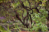 Dark branches of open pruned evergreen shrub, Vine Hill Manzanita Arctostaphylos densiflora in Kyte California native plant garden