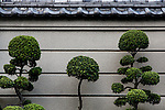 Tokyo, June 25 2013 - Pines on the street in the Nezu area.