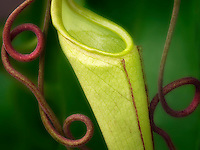 Cloe up of Pitcher plant with tendrils. Oregon