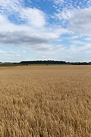 17.7.2020 Winter Barley Growing On Heath Land In Lincolnshire  <br />  ©Tim Scrivener Photographer 07850 303986<br />      ....Covering Agriculture In The UK.