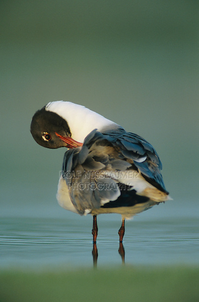 Laughing Gull, Larus atricilla, adult preening, Welder Wildlife Refuge, Sinton, Texas, USA, June 2005