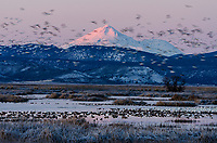 Mount Shasta with snow geese, white-fronted geese and other waterfowl during late winter/early spring migration.  Lower Klamath National Wildlife Refuge, California-Oregon border.  Early morning sunrise.