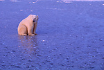 With Hudson Bay now frozen solid, this young polar bear is free to venture out and begin its search for ringed seals.<br /> Wapusk National Park, Manitoba, Canada