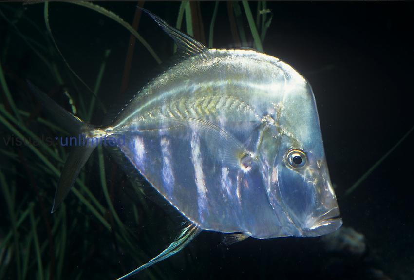 Lookdown Fish (Selene vomer), Bernuda to Brazil.
