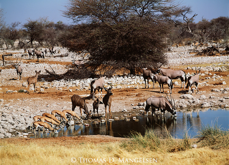 Mixed herd of springbok, greater kudu, and gemsbok drink in Arica.