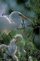 Great Egret (Casmerodius albus) with young in the nest, south Florida