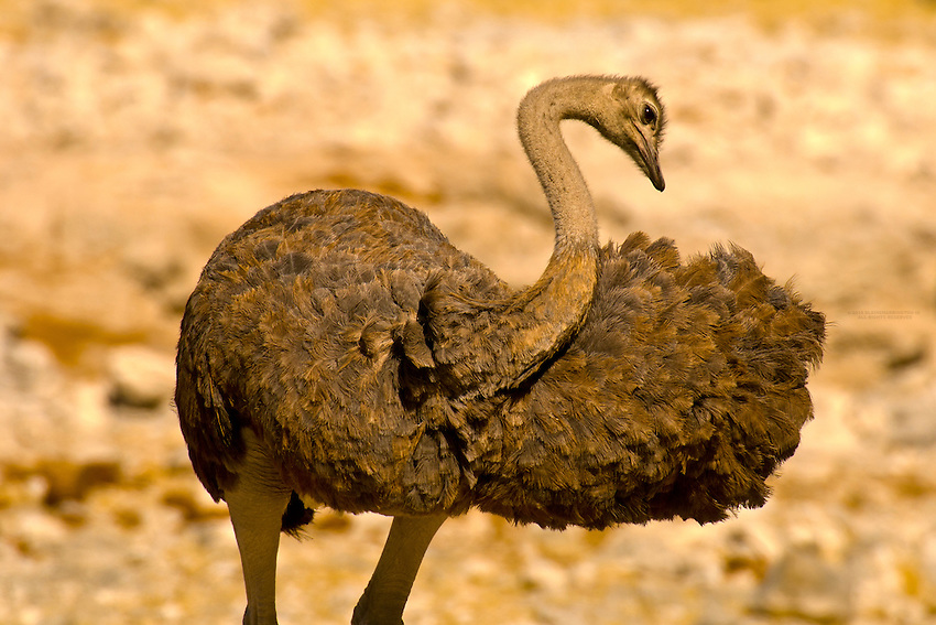 A female ostrich, Etosha National Park, Namibia