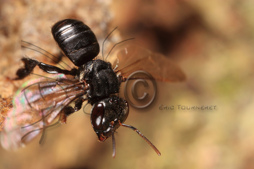 A trigona scaptotrigona bee takes flight from the wax cone at the entrance to the earthen hive.