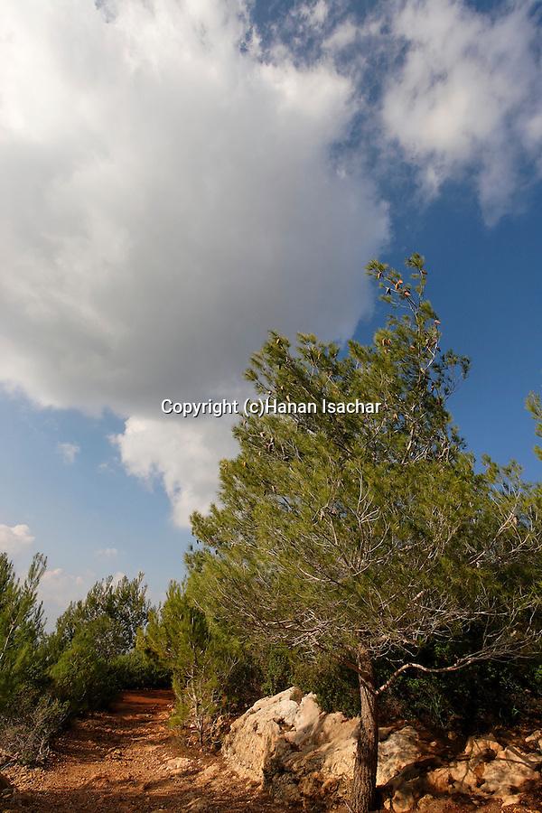 Israel, Pine trees on Mount Carmel