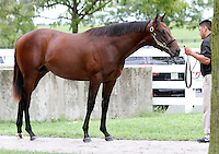 Hip #132 Distorted Humor - My Miss Storm Cat colt at the  Keeneland September Yearling Sale.  September 9, 2012.