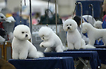 7/21/05--Several Bichon Frise dogs wait for their class competition at the Reliant World Series of Dogs which was held at Reliant Center Thursday.   Photo by Steve Campbell/Houston Chronicle.