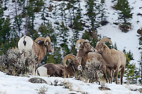 Bighorn Sheep rams (Ovis canadensis) gather on hillside, Western North America. Winter.