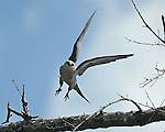 A juvenile hawk takes flight.