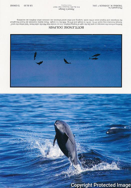 TJ-DN002, 5x7 notecard, bottlenose dolphin jumping