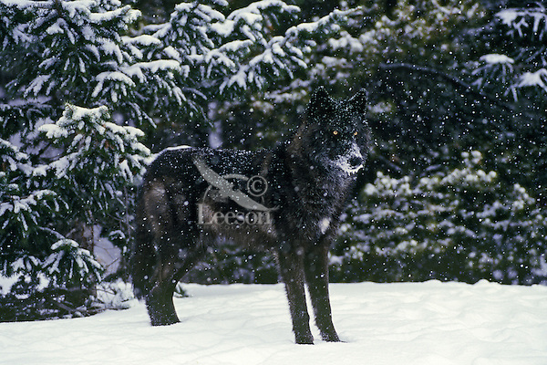A black gray wolf in winter snowstorm.