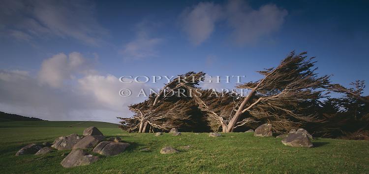 Windswept macrocarpa trees at Pahia. Southland. New Zealand.