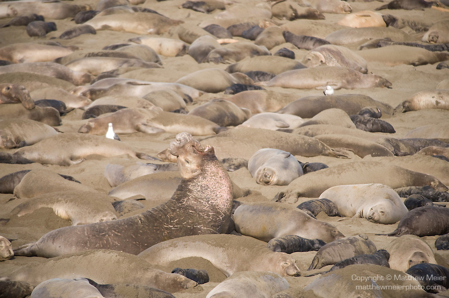 San Simeon, California; a large male Northern Elephant Seal (Mirounga angustirostris) displays his dominance over his section of the beach by raising his head and vocalizing, early February is prime birthing and breeding season, the beach is populated with adult males fiighting for the right to mate and mothers giving birth and nursing their young