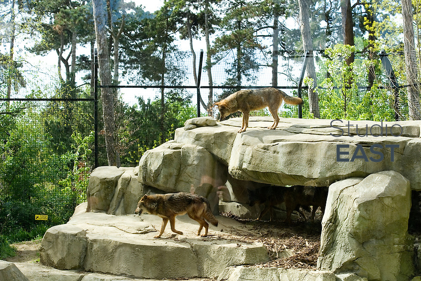 PARIS, FRANCE - APRIL 08: Wolves at the Zoological Park of Paris on April 8, 2014 in Paris, France. After 6 years of closing time and a complete € 167-million renovation, the Zoo will reopen its doors to visitors on April 12, 2014. The new park offers a journey through five biozones: Patagonia, Sahel, Sudan, Europe, Guyana and Madagascar on 14.5 hectares. (Photo by Lucas Schifres/Getty Images)