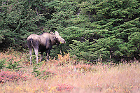 A female moose eats a snack in Alaska's Chugach State Park.